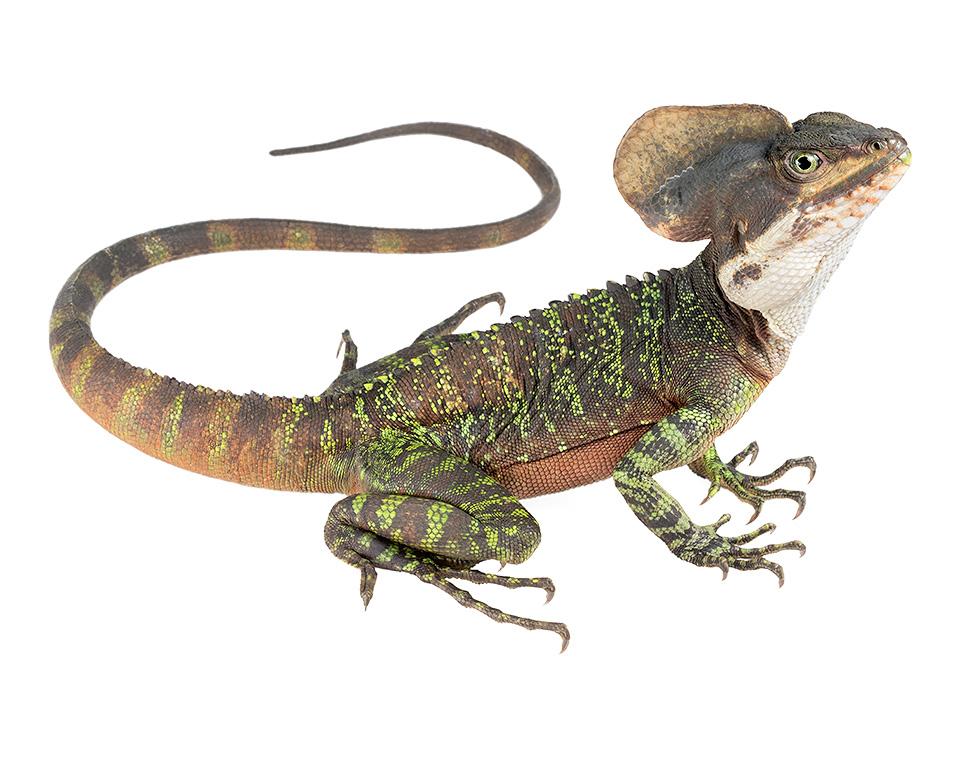 lizards of ecuador tropical herping